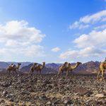 kamelen danakil depression ethiopie