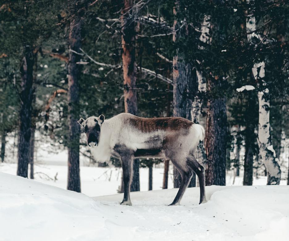 Raindeer wildlife Finland Lapland